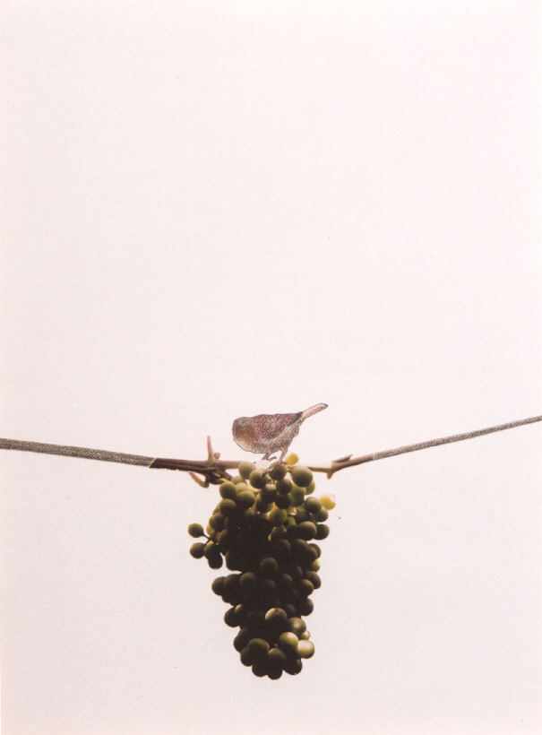 2002-z.t.- mus op druiventros - collage, foto, kleurpotlood, inkt, 71x52cm